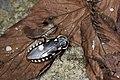 Paranauphoeta formosana (27745260265).jpg