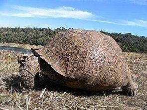 Pantherschildkröte (Stigmochelys pardalis)