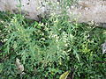 Parthenium hysterophorus-roadside-yercaud-salem-India.JPG
