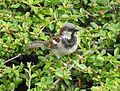 Passer domesticus House Sparrow 03.JPG
