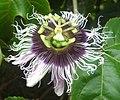 Passiflora edulis (4638757609).jpg