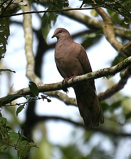 Ruddy pigeon species of bird
