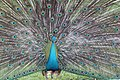 Pavo cristatus (Indian Peafowl) 27.jpg