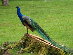 250px-PeacockValencay