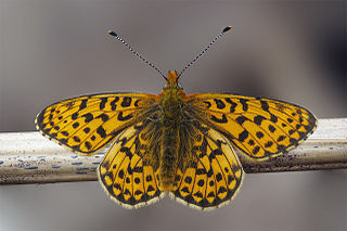Pearl-bordered fritillary species of insect