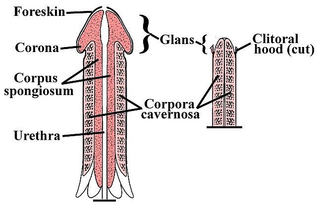 file:penile-clitoral structure - wikipedia, Human Body