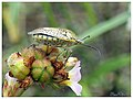 Pentatomid Bug (15288150107).jpg
