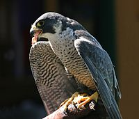 Peregrine Falcon (Falco peregrinus) (11)