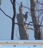 File:Periodic-and-transient-motions-of-large-woodpeckers-41598 2017 13035 MOESM1 ESM.ogv