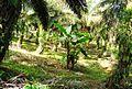 Perkebunan kelapa sawit milik rakyat (55).JPG