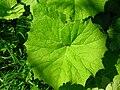 Petasites hybridus leaf.JPG