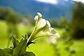 Petunia × atkinsiana - Slovenia (2710501617).jpg
