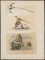 Phaëton flavirostris - 1700-1880 - Print - Iconographia Zoologica - Special Collections University of Amsterdam - UBA01 IZ18000011.tif