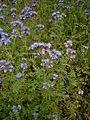 Phacelia tanacetifolia 03.jpg
