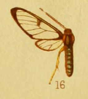 <i>Pheia discophora</i> species of insect