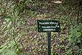 Philadelphus coronarius - City Park in Lučenec (1).jpg
