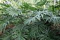 Philodendron bipinnatifidum kz2.JPG