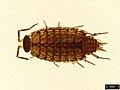 Philoscia muscorum (37622154614).jpg