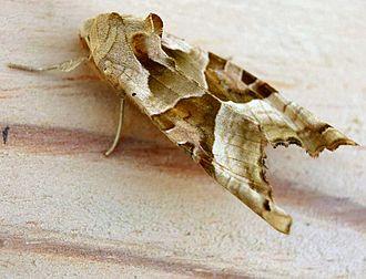 Angle shades - Image: Phlogophora meticulosa 01