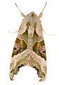 Phlogophora meticulosa 9642.jpg