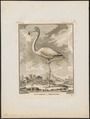 Phoenicopterus antiquorum - 1700-1880 - Print - Iconographia Zoologica - Special Collections University of Amsterdam - UBA01 IZ17600009.tif