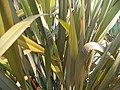 Phormium tenax Purpurea 1zz.jpg