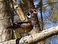 Photo of the Week - Wood Duck (NJ) (8958707371).jpg