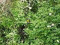 Phrygilus patagonicus (AF)-front 01.jpg