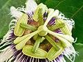 Pièces florales de Passiflora edulis 04.jpg
