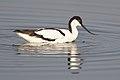 Pied Avocet, Recurvirostra avosetta at Marievale Nature Reserve, Gauteng, South Africa (30695639557).jpg