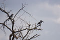 Pied Kingfisher - Queen Elizabeth National Park, Uganda.jpg