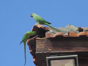 Rose-ringed parakeet - African rose-ringed parakeets in Tel Aviv, Israel