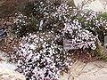 Pimelea brachyphylla 01.jpg