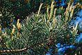 Pine-branch.jpg