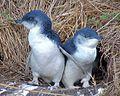 Pinguinul-mic-Eudyptula-minor1-650x519.jpg