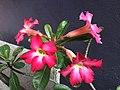 Pink adenium flowers.jpg
