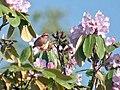 Pink browed Rosefinch (Male)- Himachal- I IMG 3785.jpg