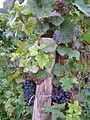 Pinot noir grapes with speckled and wilted leaves around trellis post.jpg