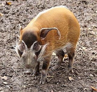 Red river hog member of the pig family