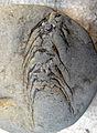 Pinus escalantensis cone SR DU 09-04-17.jpg