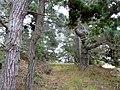 Pinus muricata forest Mendocino.jpg
