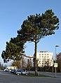 Pinus nigra Keila.jpg