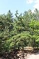 Pinus rigida Nieporęt 2.JPG