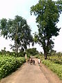 Pipal-Neem trees 01.jpg