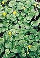Pirineos, flora 1981 23.jpg