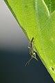 Plant Bug (Miridae) - Kitchener, Ontario 01.jpg