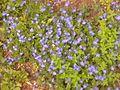 Plante de prés et sous-bois clairs 20150523 162454 - 01.jpg