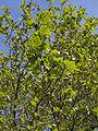 Platanus x hispanica.leaves(02).jpg