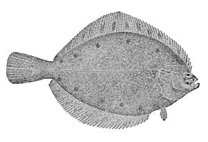 Alaska plaice - Image: Pleuronectes quadrituberculatus