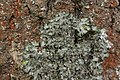 Pleurosticta acetabulum (41091200091).jpg